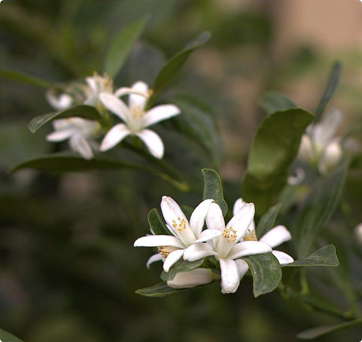 Kumquat flowers