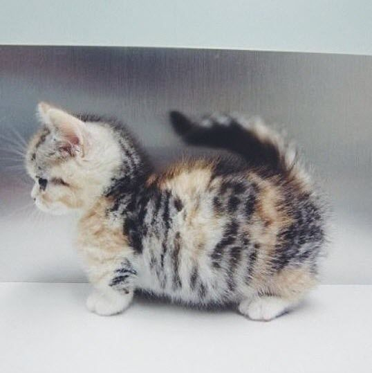 Not sure if I'm right but this looks like a munchkin kitten. I do know that it is unbelievably cute!