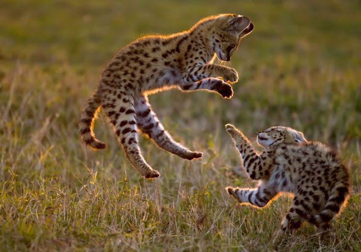 'Servair' - airborne serval kittens, Maasai Mara, Kenya -- Photo by Paul Goldstein