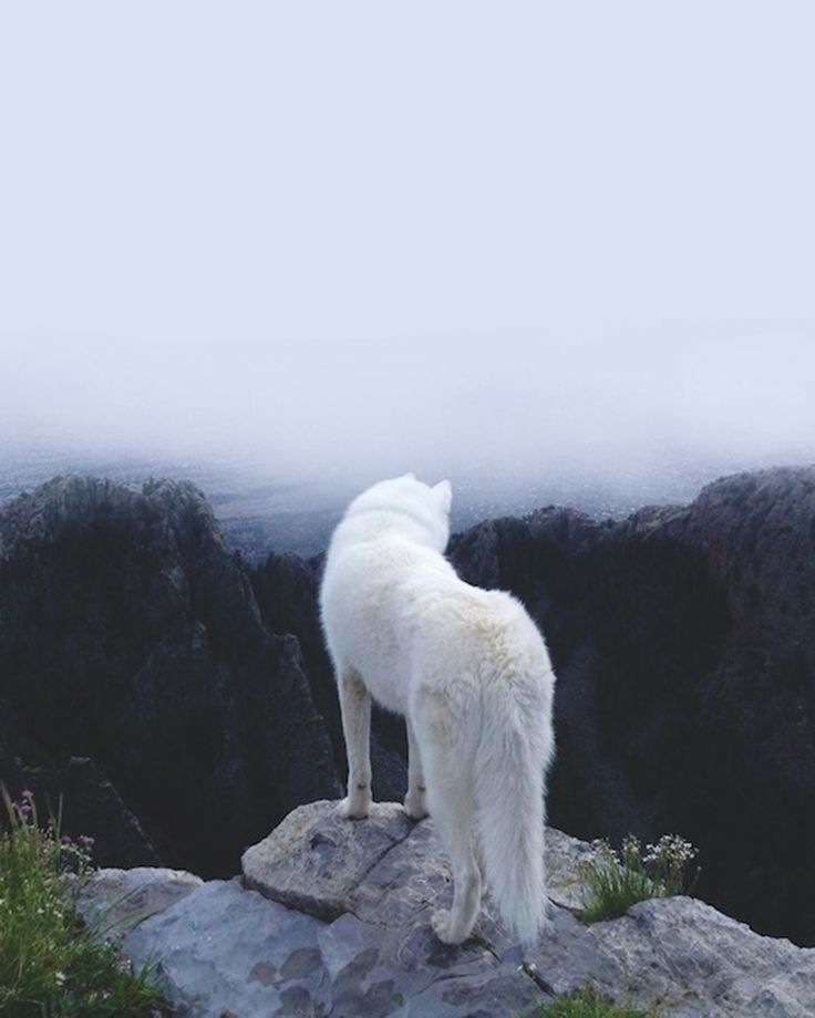 arctic fox on top of a rock. how nice . :)