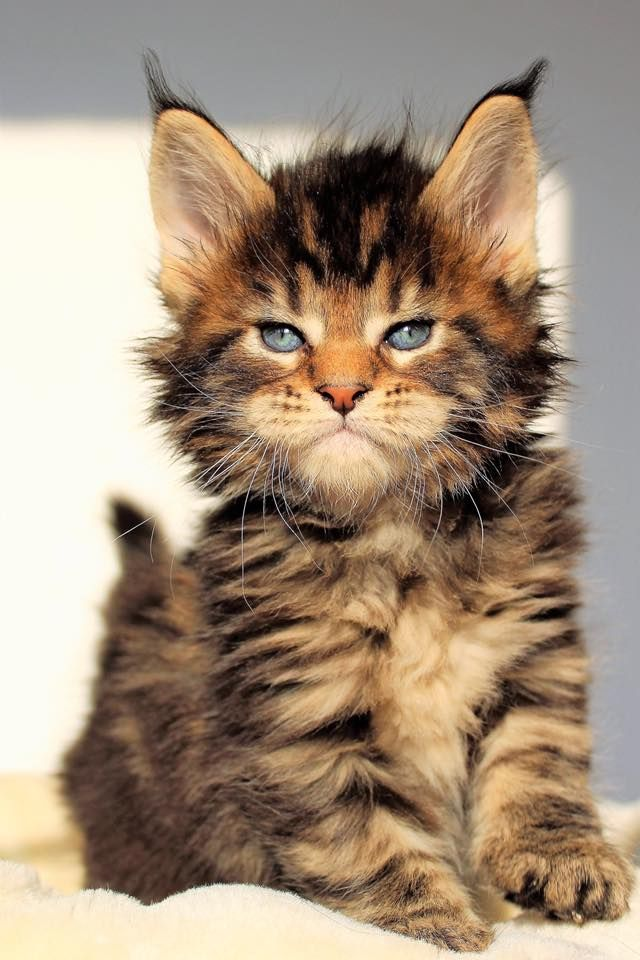 Beautiful Badass Coonlet Bezaubernde Katzchen Katzen Hubsche