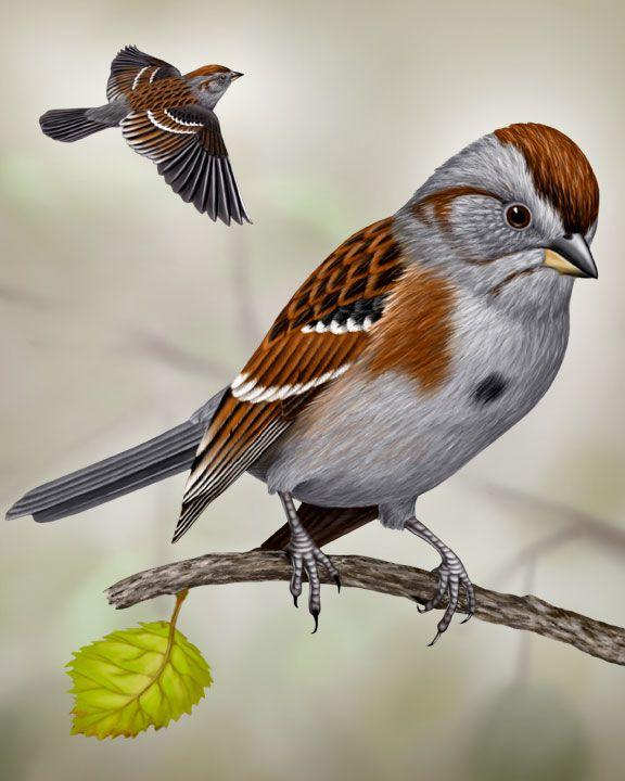 71 Best MICHIGAN Birds: Sparrow Images On Pinterest