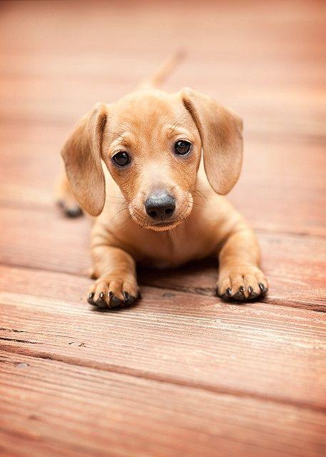so cute doxie!