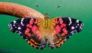 Image result for atlides halesus butterfly images