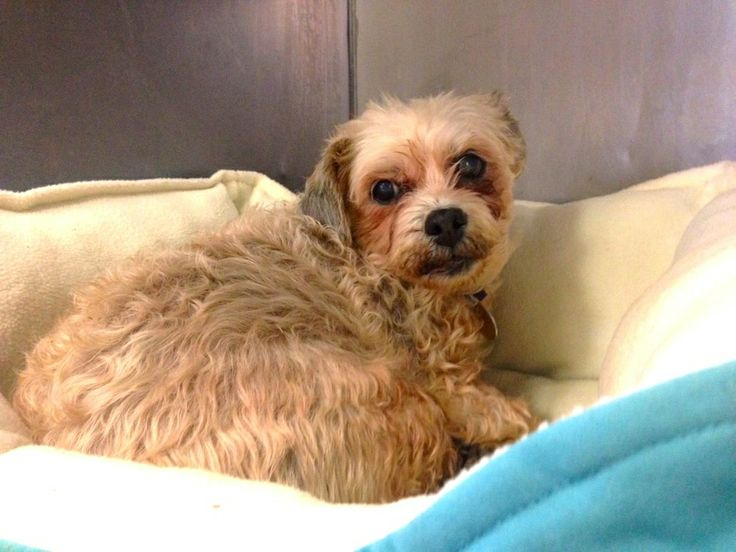 #NewYork ~ I'm unable to to type as I'm #blind & slightly #deaf, so 1 of my Little Shelter friends typed my story. I can see shadows & respond to those. I'm a #senior girl seeking my forever home, 1 that doesn't view my disabilities as negatives. I had lots of dirt, mud & feces stuck in my fur when I came in, Little Shelter cleaned me up & now I hope I can find a real forever home. LITTLE SHELTER  33 Warner Rd  #Huntington NY 11743  Sat-Sun 12-5pm Mon-Fri 1-7pm  Ph 631-368-8770