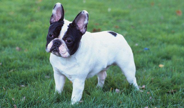 French Bulldog French Bulldog Full Grown French Bulldog Fawn