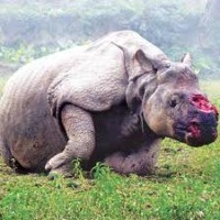 This is cruelty. Poaching must be stopped black-rhino-poached for the horn africawildlifedetective.com