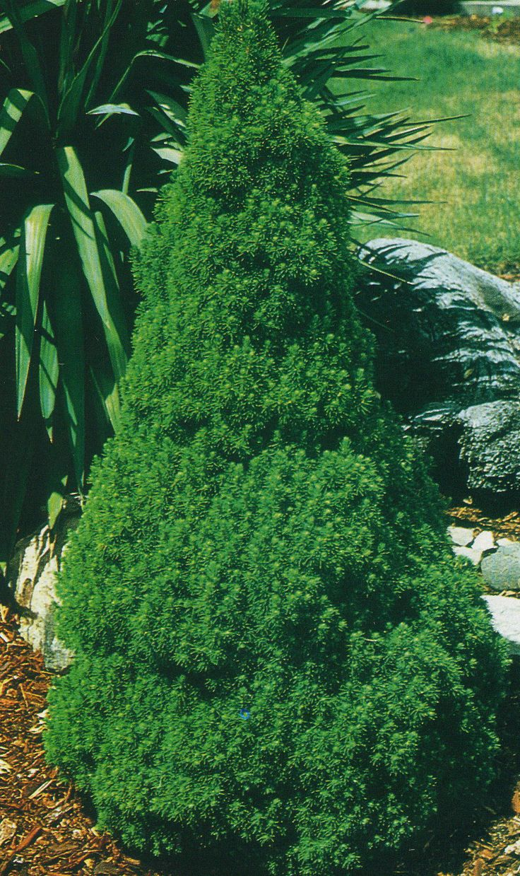 Dwarf Alberta Spruce - compact, slow-growing, evergreen. Full sun. Up to 6' at maturity.  2 of these are going in the front of my home. ♥