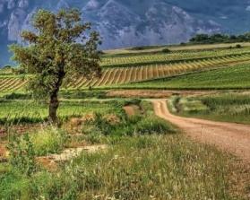 On the Rioja vineyard trail