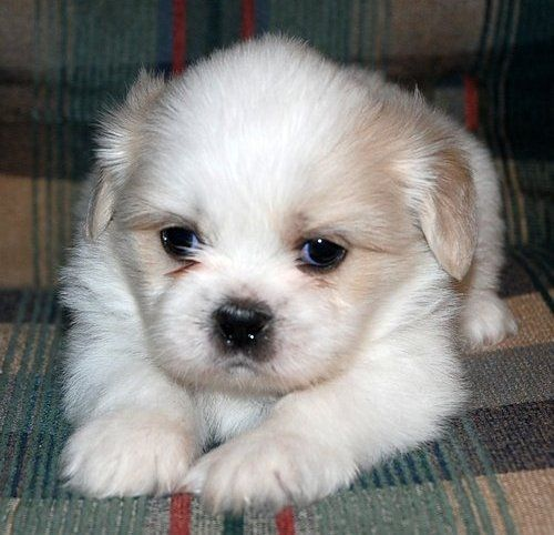 Google Image Result for http://www.asnclassifieds.com/images/8814_Shih_Tzu_Puppies.jpg