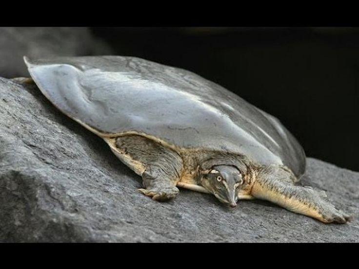 Çin'in Yumuşak Kabuklu Kaplumbağası