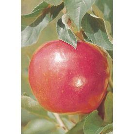 �3.25-Gallon Jonathan Apple Tree (L3201)