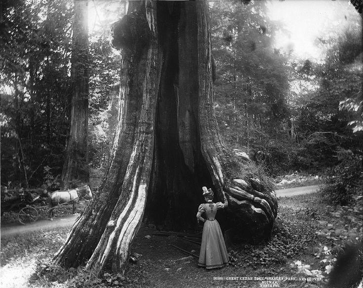 Great cedar tree, Stanley Park, Vancouver, BC, 1897