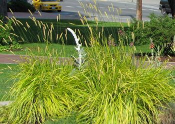 "Alopecurus pratensis 'Aureovariegatus' - Golden Foxtail Grass. Description: cool season; slow spreader  Foliage - variegated yellow-green; narrow blade width; 30-40 cm (12-16"") tall  Flowers - May-June; 60 cm (24"")"