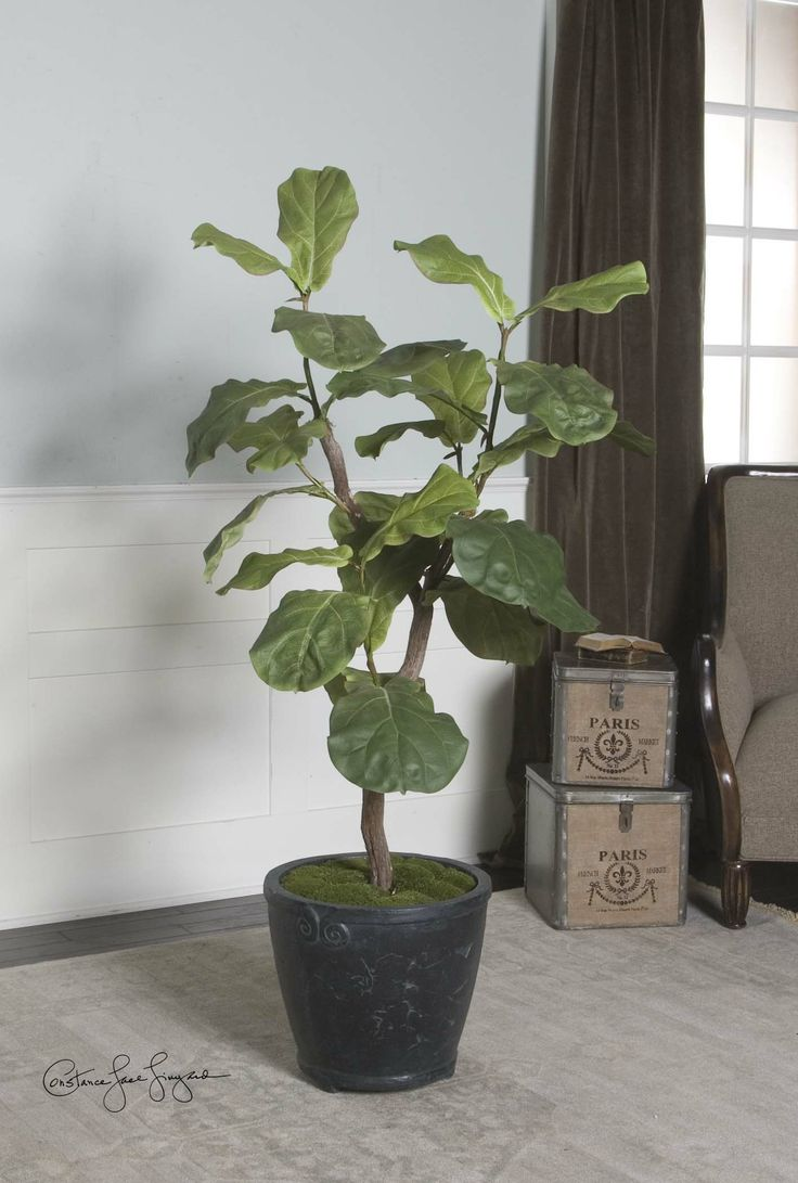 Preserved cypress bonsai 7 h contemporary phoenix by botanical - Fiddle Leaf Fig 5 Tree