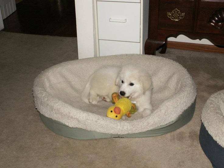Most adorable Pyrenees puppy EVER!