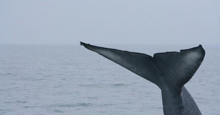 Que tipos de baleia comem krill?. Baleias são grandes e belos animais marinhos. Estes mamíferos viajam pelo oceano, comunicando-se através de sons fantasmagóricos e dando um show às pessoas, quando sobem à superfície. Como o maior de todos os animais, é algo incrível que as baleias sobrevivam comendo krill microscópicos.