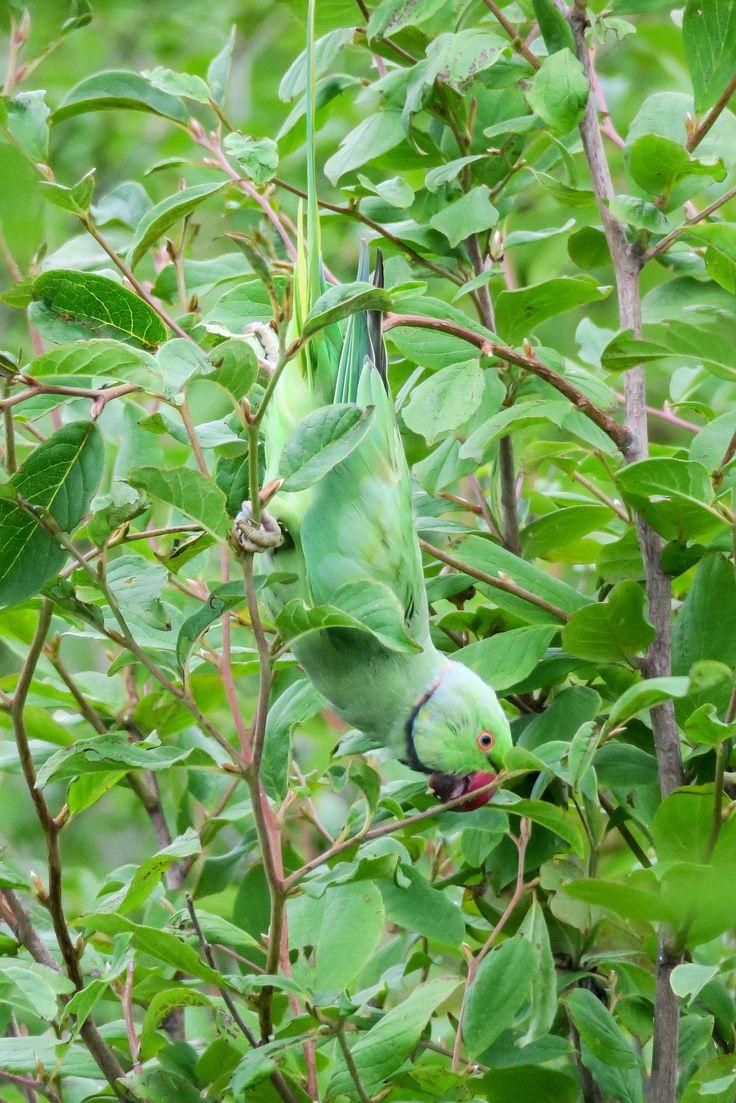 Indian Rose-necked Parakeet  | Flickr - @ Yoshihiro Ogawa