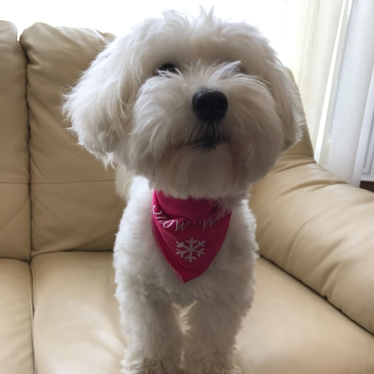 """7 Likes, 4 Comments - Judy B. (@judylaibaron) on Instagram: """"Snow White got a new scarf from a dear friend today!😍🐶 #cotonsofinstagram #cotondetulear…"""""""