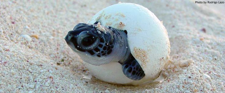 Sea Turtle Conservancy :: Saving Sea Turtles since 1959