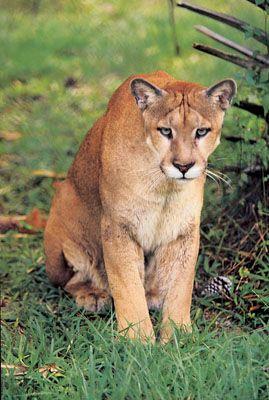 The State Animal:  Florida Panther