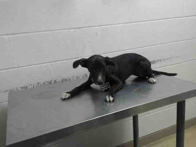●9•27•16 SL●JULIP - ID#A468373 - URGENT - Harris County Animal Shelter in Houston, Texas - ADOPT OR FOSTER - I am going to the next mobile adoption event. Call the shelter for details - 4 MONTH OLD Spayed Female Labrador Retriever - at the shelter since Sep 16, 2016.