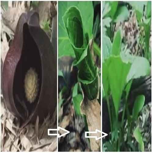 La Symplocarpus foetidus è una pianta erbacea presente in Giappone