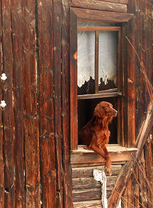 Cabin life - loyal friend awaiting your return (Irish Red Setter)