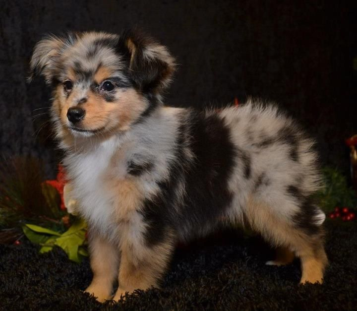 Australian shepard dogs pinterest for Amazing dog kennels