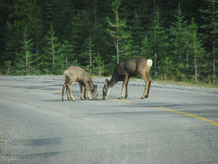 Three mule deer drinking from a pothole in Waterton Lakes National Park, Alberta. Yes, three . . . or else an 8-legged deer. ~~ 9/10/2009