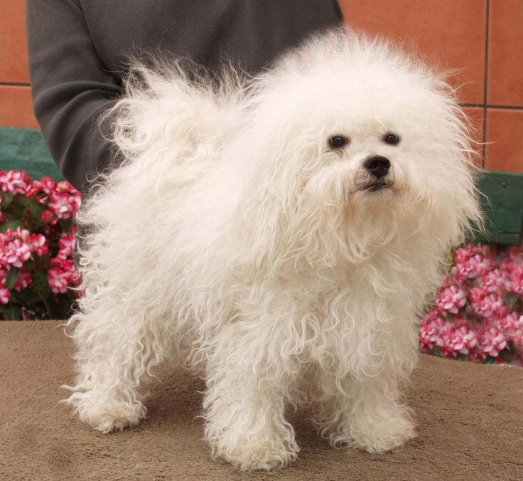 Bolognese cute dog
