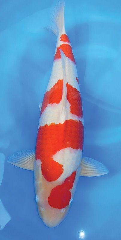17 best images about koi on pinterest japanese koi fish for Koi und goldfisch