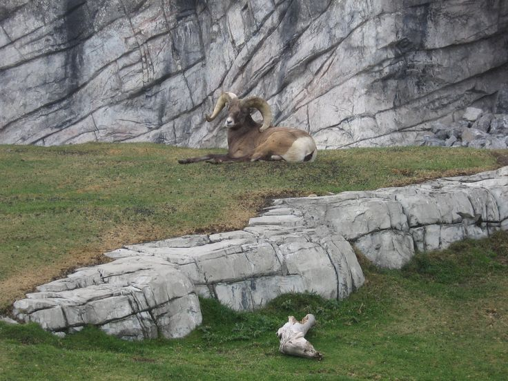 Handsome Ram lies on the grass in Calgary ZOO