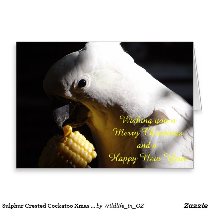 Sulphur Crested Cockatoos Xmas Card - Australian Wildlife. Click on photo to view item then click on item to see how to purchase that item. #christmascard #xmascard #cockatoo #sulphurcrestedcockatoo #wildlife #australianwildlife #zazzle