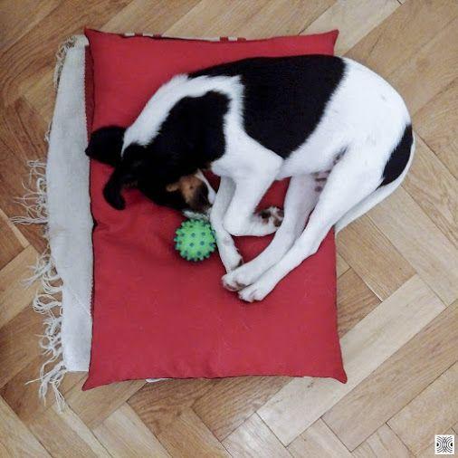 7.9.2016 - day 104 - another deep sleep :-)  Blackberry Passport  www.pavelvrzala.com  #SmoothFoxTerrier #puppy #little #dog #pillow #sleep #Blackberry #Passport