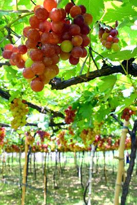 Grapes Capital of the Philippines