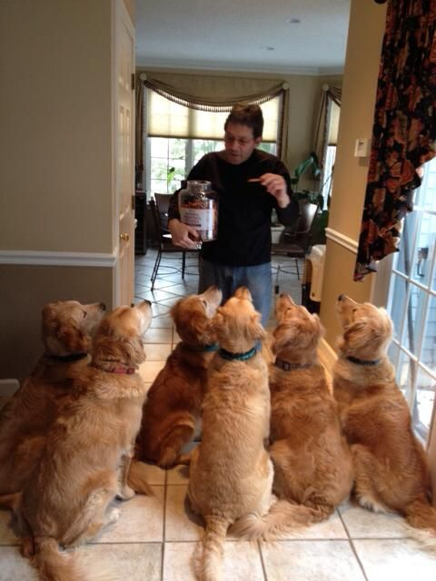 Imagine having 6 #golden #retrievers in your house