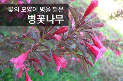 병을 닮은 관목 병꽃나무