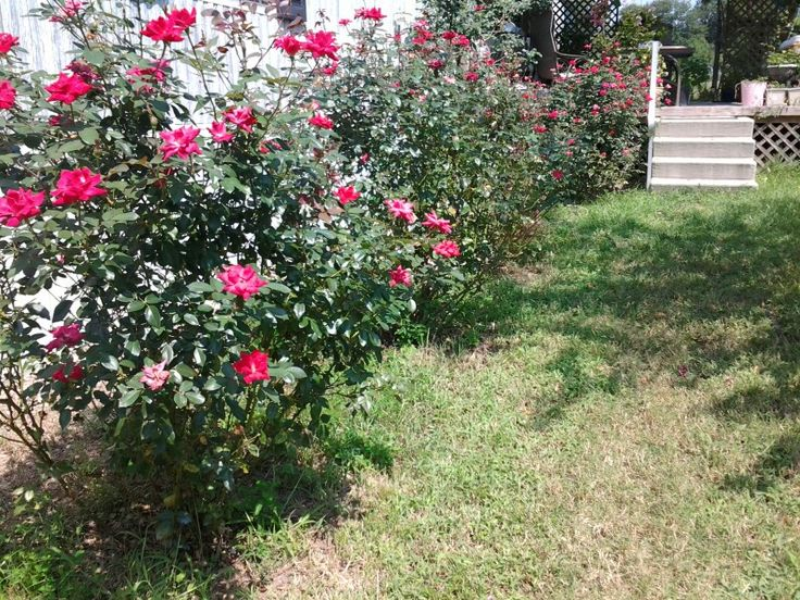 Roses In Garden: More Of My Knockout Rose Bushes..