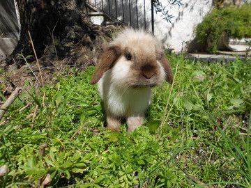 I nostri conigli - Allevamento conigli nani arieti roma SWEETFUZZYLOP, benvenuti!