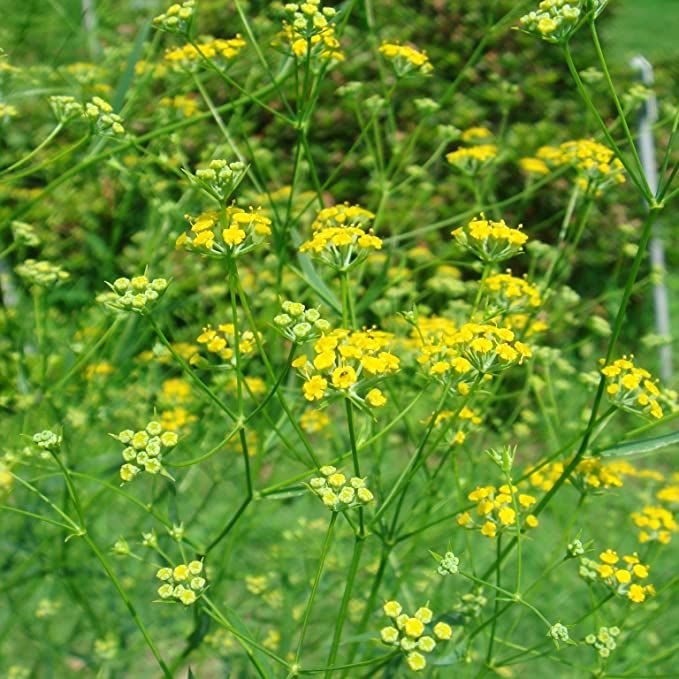 Amazon Com Bupleurum Seeds Bupleurum Falcatum 100 Rare Medicinal Herb Seeds In Frozen Seed Capsules For The Gardener Rare Seed