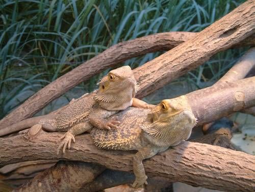 17 best ideas about dragon pictures on pinterest dragons - Bearded dragon yawn ...