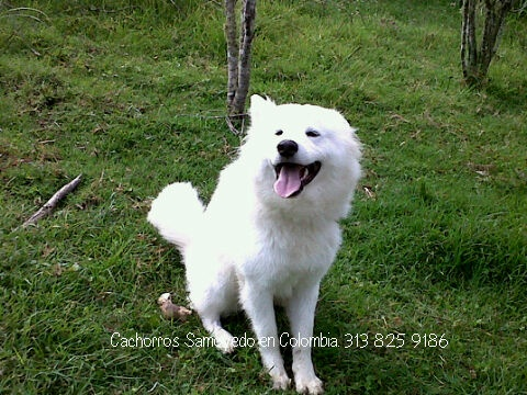 (Móviles: 313 825 9186 -   311 510 0305)   (E-mail:samoyedos1@hotmail.com).   Búscanos en Facebook, Youtube.  (PIN: 22C66454)