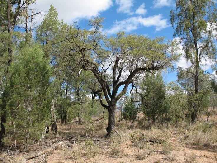 Petalostigma pubescens (Bitter Bark) (Brisbane-Dry Eucalypt Forest)