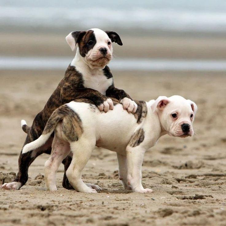 Купить щенка американского бульдога с родословной недорого в питомнике в Москве, Санкт-Петербурге, Новосибирске, Екатеринбурге, Новгороде, Казани и других городах России.