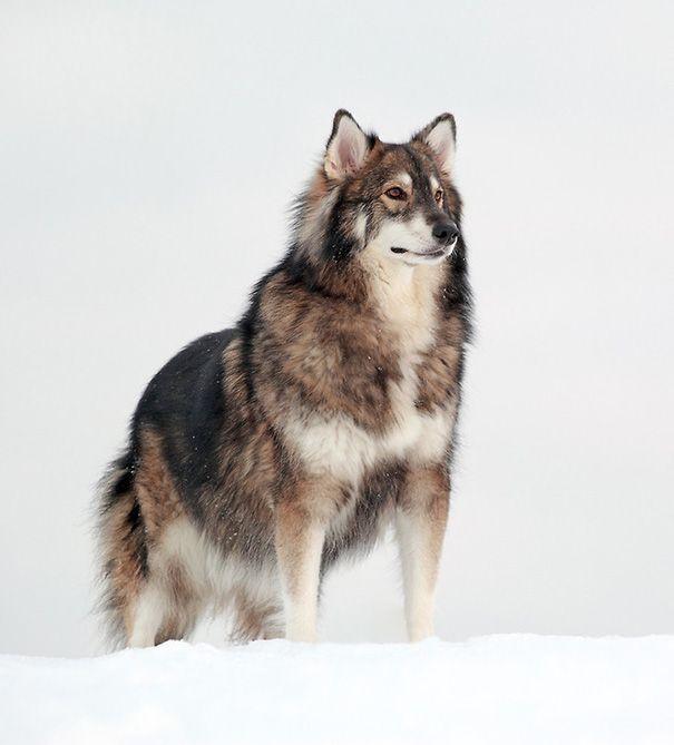 Os 25 mais incríveis e estranhos cruzamentos entre raças de cães: Malamute-do-alasca + Pastor alemão