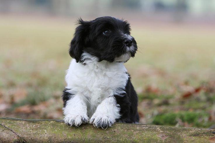 schapendoes puppies | Go Back > Gallery For > Schapendoes Puppies