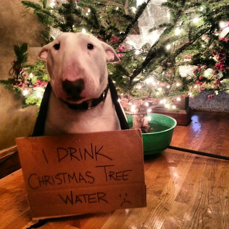 Our black and tan coon hound drank Christmas tree water, too. :)