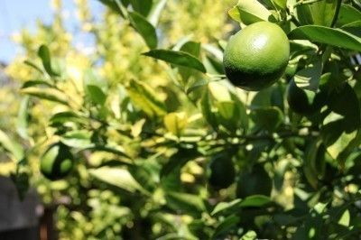 Lime Tree Tips: Care Of Lime Trees