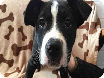 Urbana, IL - Boxer Mix. Meet BART, a puppy for adoption. http://www.adoptapet.com/pet/17103851-urbana-illinois-boxer-mix